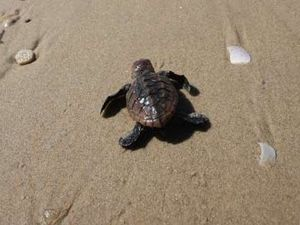 Baby turtles about to emerge from nests on Coast beaches