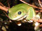 Frisky frog sounds