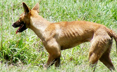 Hungry wild dogs are roaming properties at Pleystowe and North Eton. These beasts have residents living in fear, with many of the dogs killing family pets and livestock.