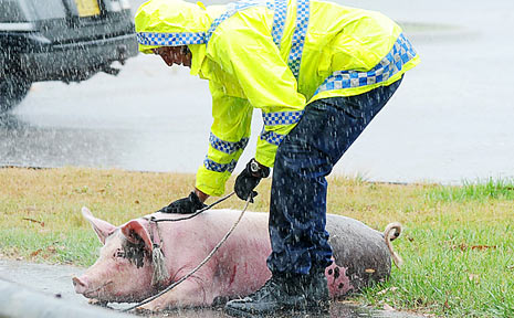 SAVED: A police officer stands guard over Porky after her 'arrest' on Monday.