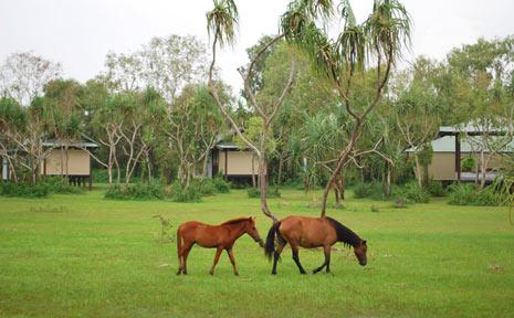Brumbies wander past the Bamurru Plains bush lodge.