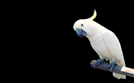 Pedro the cockatoo.