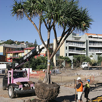 Workmen remove a Pandanus tree from the Watpac construction site. Photo: Mike Garry/scw1488