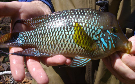 The Pearl Chiclid is a major threat to Tweed waterways.