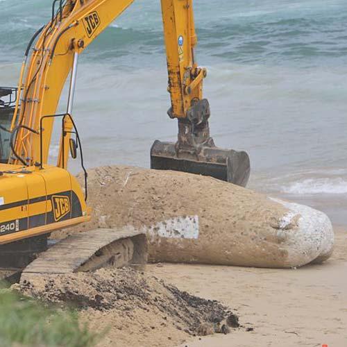A whale carcass has washed up on a beach at Kawana. Photo:Jason Dougherty/182668