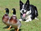 Pye directs his ducks as part of the Shaunder Dog and Duck demo. Photo:Warren Lynam/182942