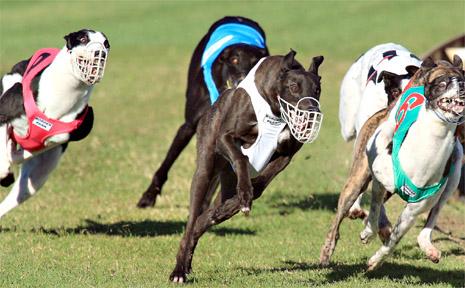 Greyhounds at Broder park.