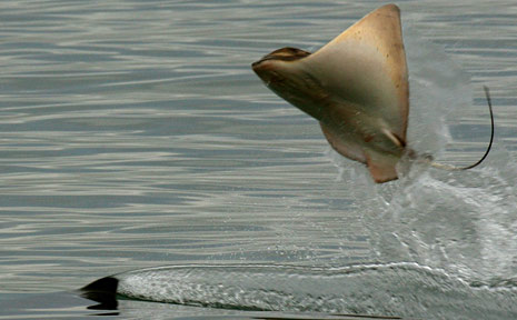 A stingray leaps out of the water to avoid a too-close encounter with one of the hungry orcas making its way up the Waitemata Harbour from St Heliers to Okahu Bay.