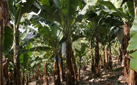 Local banana plantation near Murwillumbah.