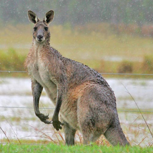 Public outrage has occurred over Kangaroos being run down due to new road from Caloundra to Mooloolaba and other surrounding development. Photo:Brett Wortman/168418