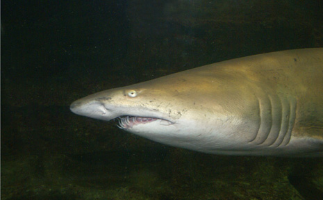 A file picture of a Bronze Whaler.