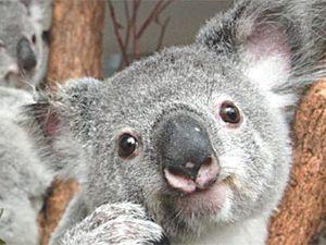 Koalas in front line