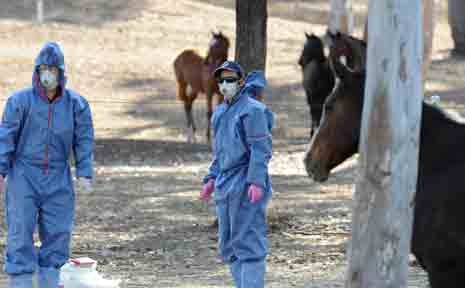 Health officials attend to horses at the J4S Equine Nursery at Cawarral outside of Rockhampton, Tuesday, Aug 11, 2009, after tests have confirmed a prized Anglo filly from the nursery died from Hendra virus on Saturday, with two other recent horse deaths on the property also believed to be due to the virus.