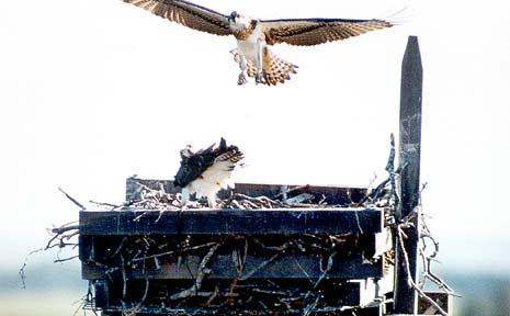 REHOUSED: An osprey approaching her nest. Work was recently halted on the Wardell wharf reconstruction due to fears resident ospreys might be affected.