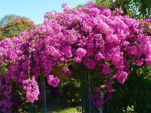 Blooming beautiful Bougainvillea