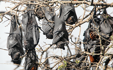 Flying foxes have moved in at Maclean High.
