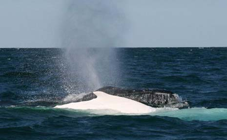 Migaloo travelling south off Byron Bay with a pod of humpbacks in 2006.