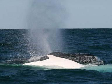 Migaloo travelling south off Byron Bay with a pod of humpbacks on Monday. The photograph was taken by Rob Dalton, of the Byron Bay Dive Centre.