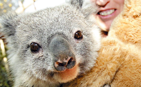 FRIENDS of the Koala carer Sue Johnson with a baby koala orphaned because of a dog attack on it's mother.