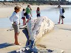 THE dead humpback on the beach near Angourie.