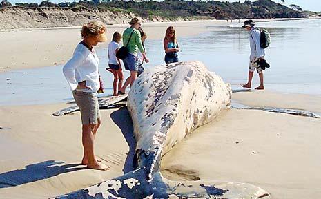 THE dead humpback on the beach near Angourie.