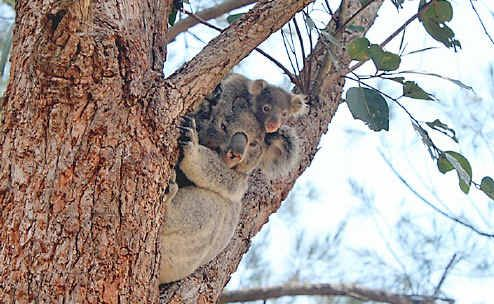 A mother and baby koala on the lookout for dogs at Southern Cross University. Photo by Alicia Carter.