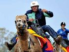 Camel racing is a popular part of the Melbourne Cup Day at the Gympie Turf Club.
