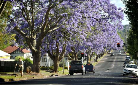 "The blooming of jacaranda trees in Toowoomba, such as the ones near the corner of Mary and Bridge streets, is the botanical symbol of the start of exam time. Jacaranda trees have also been referred to as ""exam trees"" or ""purple panic"" by university students."