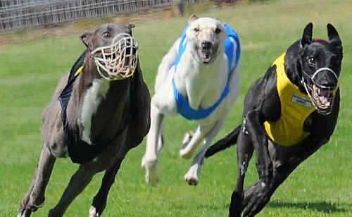 Race two winner Fitzburg (yellow) from High Dancer (black) with He's Tryin' (blue) third.