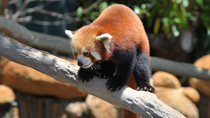 One of Australia Zoo's red pandas.