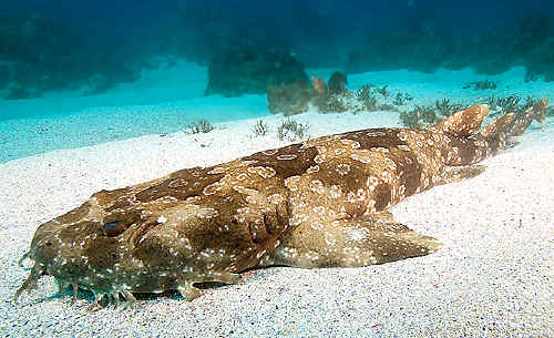 Spotted wobbegong shark.