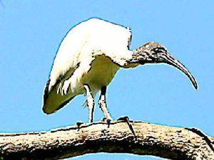 Hunting arrow kills ibis in latest act of animal cruelty