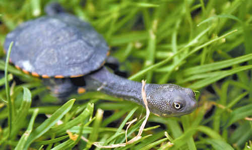 A long neck turtle in the long grass. Photo by Marcus Couper.