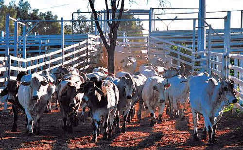 Forty jobs axed at Biloela as cattle shortage hits production.