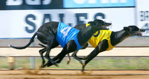 Our Irish Betty pips Dimple Assassin at the post to win the first heat of the 2009 Christmas Cup at Callaghan Park on Saturday.