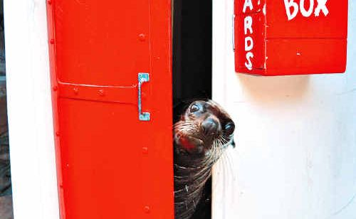 Sly, the New Zealand fur seal, peeks out of the Seal Island lighthouse.