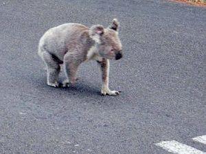 Councillors back call for protection of Tinana koalas