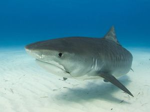 Team hope to catch sharks for live tracking
