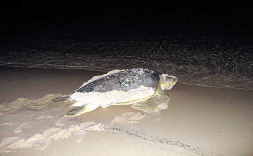 This flatback turtle has made Great Keppel Island the nesting place for her 2010 babies.