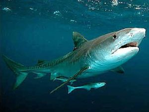 Shark species responsible for fatal attack known
