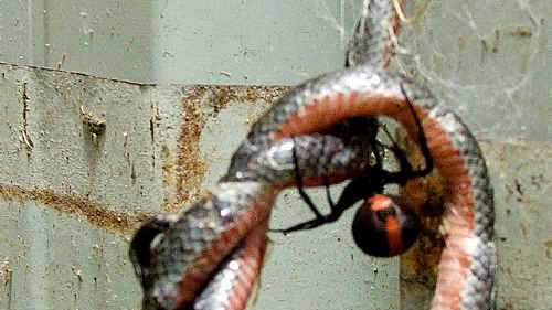 An eastern small-eyed snake became trapped in a red-back spider's web.