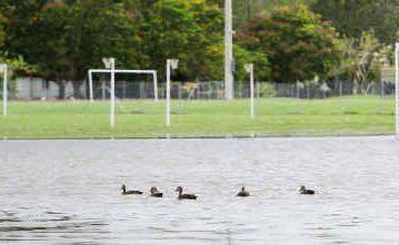 A lake of water outside Jardine Park's grass netball courts was enjoyed by feathered residents.