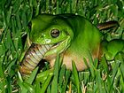 Green frog climbs the food chain