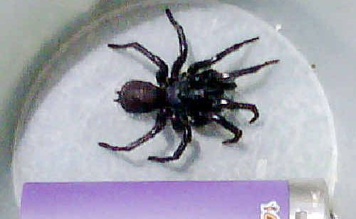 This funnel web was found crawling into a bag.