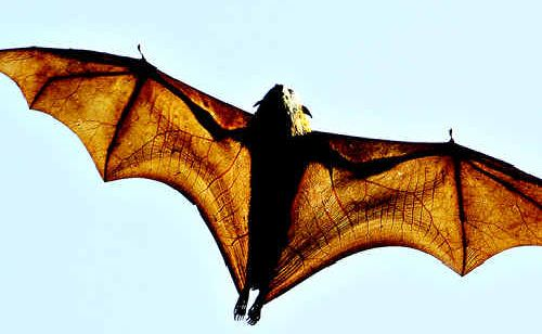 A flying fox infected by the deady lyssavirus attacked a Palmwoods man.