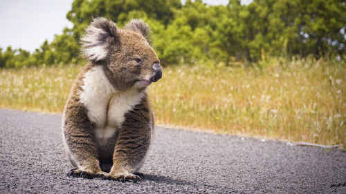 A recent report suggests declining Koala populations on the North-Coast.