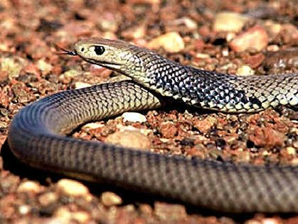 Snakes are on the move and so too are humans seeing a rise in bites treated by paramedics.