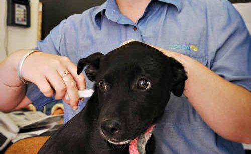 RSPCA shelter manager Rebecca Brazier with Jill an Australian Stumpy tail cattle dog cross staffy puppy.