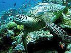 Green sea turtles.