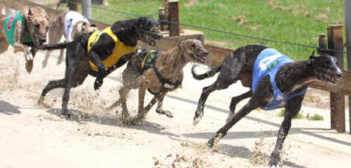 Number 4 Cawbourne Biggen leads all others in Grafton's race 4 on Saturday.